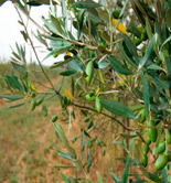 La CE cifra la producción comunitaria de aceite de oliva en 2,3 millones de toneladas en la campaña 2015/16
