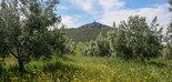 El olivar cuenta con un gran potencial como herramienta de mitigación de emisiones de gases de efecto invernadero