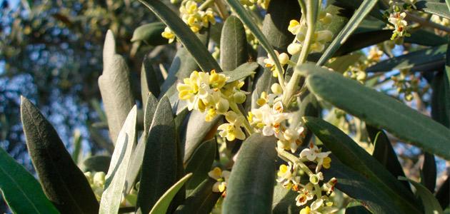 Determinan cómo afectan las masas de aire africanas en los niveles de polen del olivo