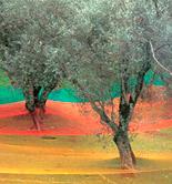 Italia prevé que su producción de aceite de oliva descienda un 37% en la campaña 2016/17