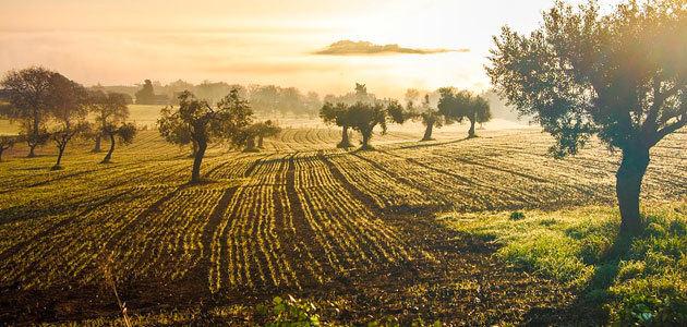 Unaprol pide un Plan Nacional 2.0 para garantizar el futuro del olivar italiano