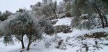 El olivar italiano se enfrenta a una de las peores campañas de la historia
