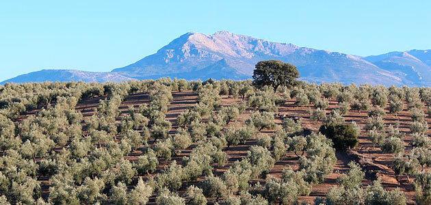 ¿Se está preparando la tormenta perfecta en el sector del aceite de oliva?