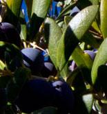 Madrid elige el mejor olivo monumental de la Comunidad