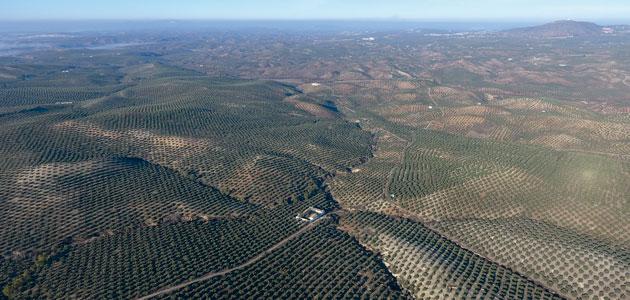 Expertos internacionales analizarán en Córdoba las perspectivas de futuro del olivar mediterráneo