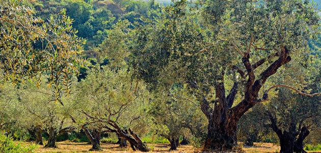 El proyecto Provide realiza una propuesta de programa medioambiental para el olivar de montaña