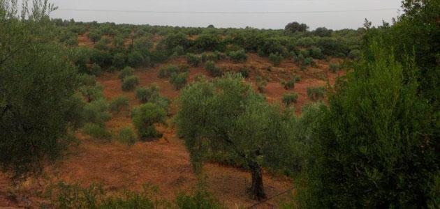 Andalucía realiza un nuevo pago de 11,1 millones de euros en ayudas agroambientales al olivar