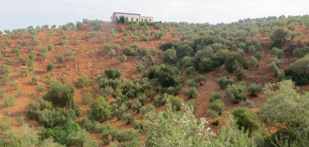 El olivar, uno de los cultivos más representativo de las zonas de montaña