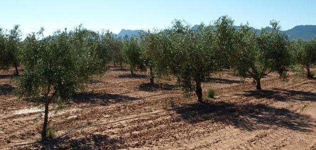 Murcia desarrolla un proyecto sobre la calidad del aceite de diversas variedades de olivo