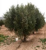 Murcia evalúa el comportamiento agronómico de diferentes variedades de aceituna