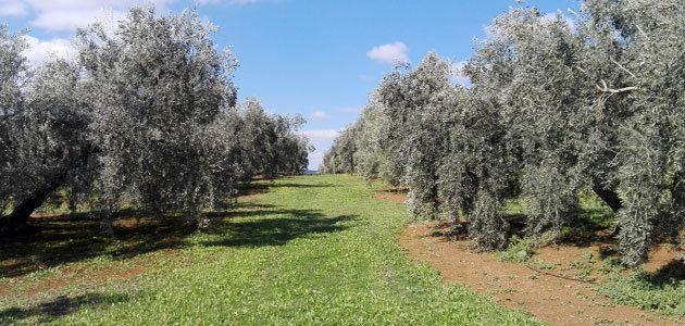 El 24,36% de la superficie de olivar andaluz es de Producción Integrada