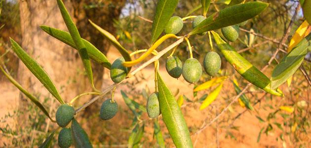 La demanda mundial de aceite de oliva superará en un 6,4% la producción de esta campaña