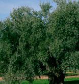 El plazo de contratación del módulo P del seguro de olivar finaliza el 30 de junio