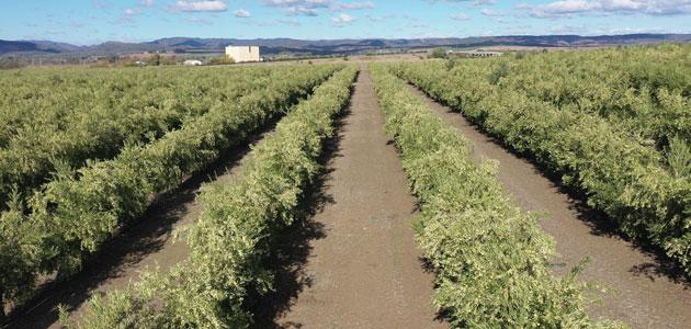 Un estudio de Todolivo constata que el olivar en seto supera al superintensivo en sostenibilidad, productividad y rentabilidad y marca un nuevo rumbo en la olivicultura