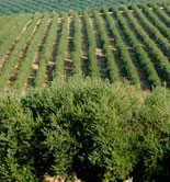 La UJA organiza unas jornadas sobre olivar y sostenibilidad