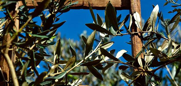 ¿Debería el olivar tradicional cobrar por la absorción que hace del CO2 de la atmósfera?