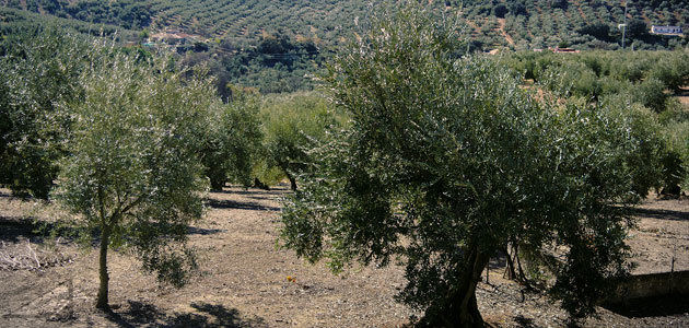 Planas propondrá un programa específico para el olivar tradicional en la nueva PAC