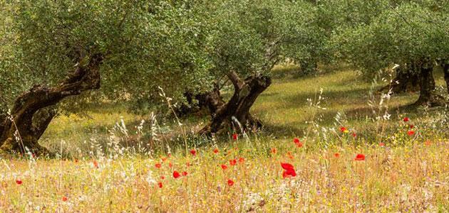 El suelo del olivar se perfila como gran aliado frente al cambio climático