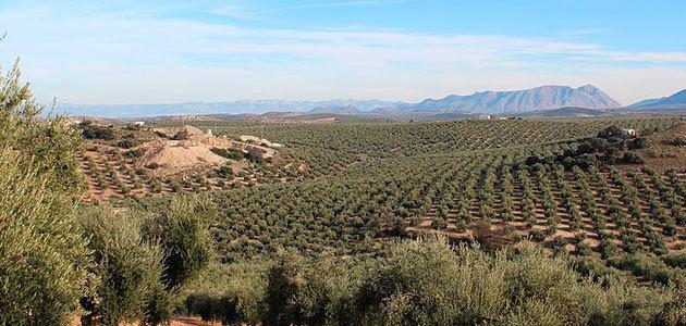 Una tesis propone una solución innovadora para conocer la evolución de plantaciones de olivar