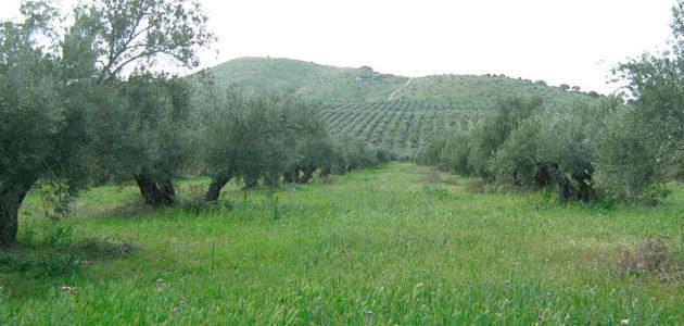 Los efectos ambientales positivos propician la implantación de cubiertas vegetales en el olivar