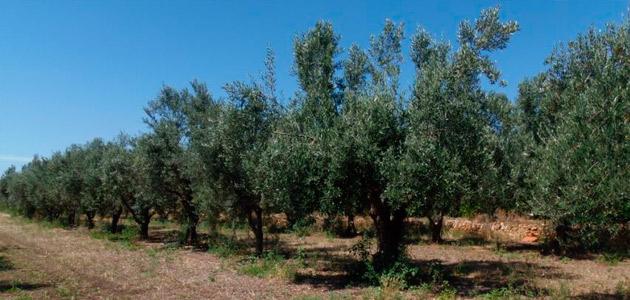 El olivar, entre los cultivos más afectados por el temporal en la Comunidad Valenciana