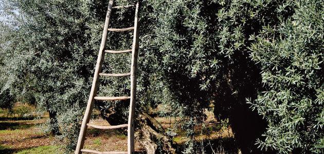 España, primer país del mundo en capacidad de producción de aceituna ecológica
