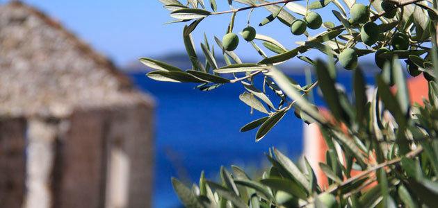 Olivecan, una aplicación para predecir el futuro del olivo