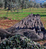 Las innovaciones en la olivicultura