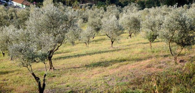 Productores e investigadores abordan las claves de la innovación de la olivicultura en Brasil