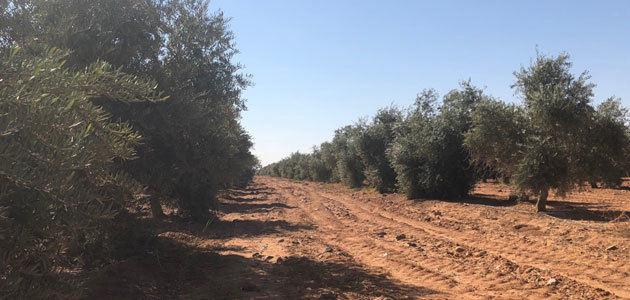 ¿Cuáles son las claves para el futuro de la olivicultura extensiva?