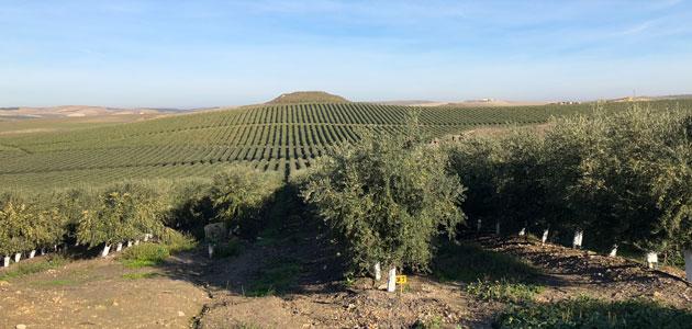 El 30% del aceite de oliva mundial corresponde a la variedad picual
