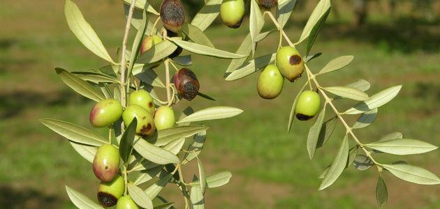 La investigación en olivicultura de la UCO, presente en el congreso de la SECH