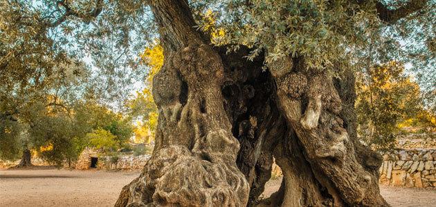La protección por ley de los olivos monumentales catalanes, a debate en el parlamento regional
