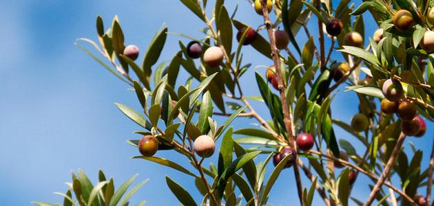 El Gobierno reduce la presión fiscal del olivar por la sequía