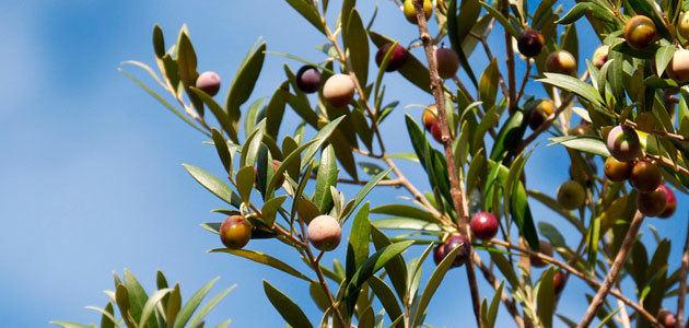 La CE cifra en 888.417 t. la producción europea de aceite de oliva en el primer trimestre de campaña