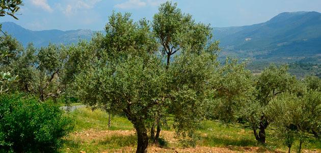 El USDA prevé que la producción mundial de aceite de oliva aumente hasta 2,7 millones de toneladas esta campaña