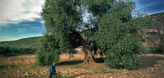AEMO convoca su premio al mejor olivo monumental