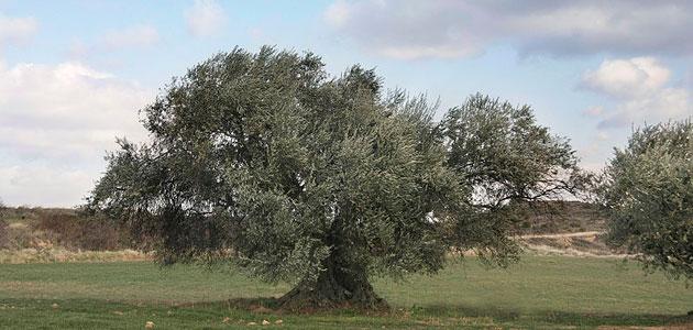 El cambio climático pone en peligro la viabilidad comercial del olivo a medio plazo, según un estudio