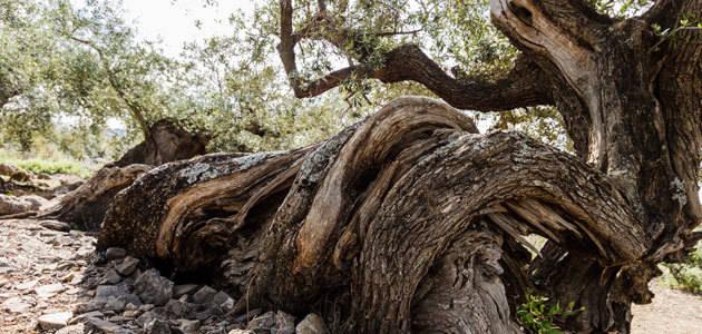 El Olivo Caracol recibe el Premio AEMO al Mejor Olivo Monumental de España 2017
