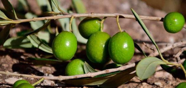 El 35% de las cooperativas en España tiene actividad en el sector del aceite de oliva