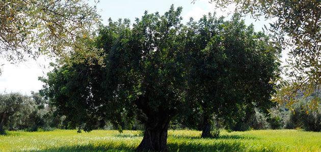 Calculan el consumo de agua de cultivos como el olivar para diseñar sistemas de riego de precisión