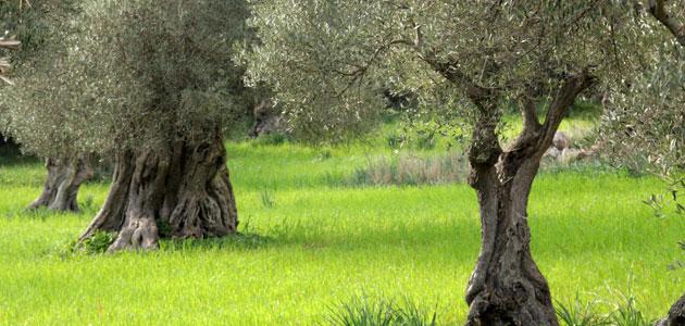 La superficie cultivada de olivar ecológico en Andalucía se ha elevado un 85,4% respecto al año 2005