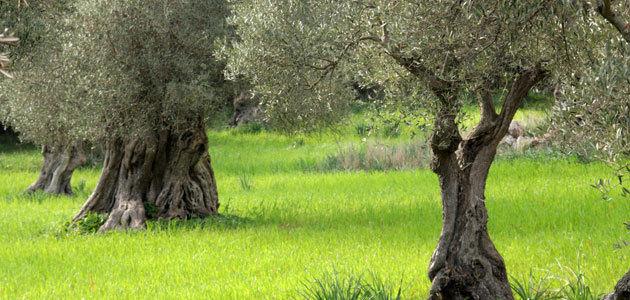La superficie cultivada de olivar ecológico en España aumentó un 6,4% en 2020