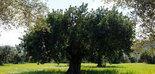 Investigan un tratamiento que mejora la cantidad y la calidad del aceite de oliva