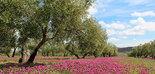 La CE espera que la producción europea de aceite de oliva aumente un 1,3% por año para 2030