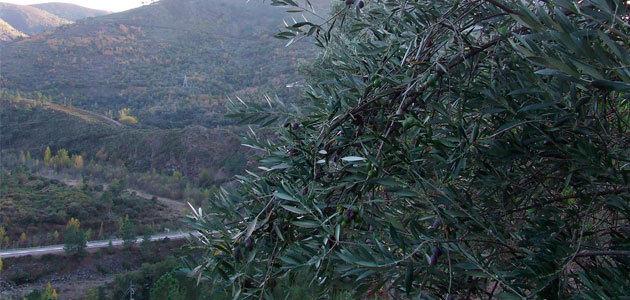 Un proyecto de investigación caracterizará y recuperará variedades de olivo autóctonas de Galicia