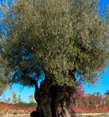 Científicos de tres centros españoles descifran el genoma completo del olivo