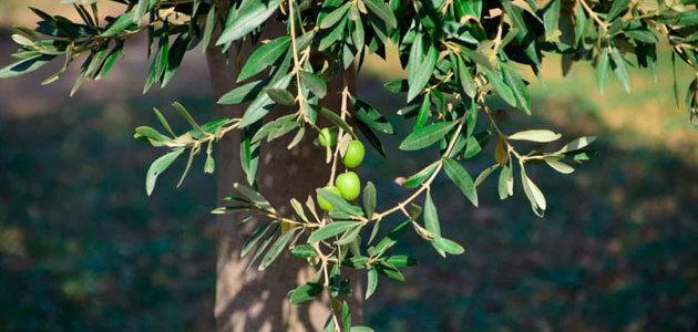El COI prevé un descenso de la producción mundial de aceite de oliva del 7,6% en la campaña 2018/19