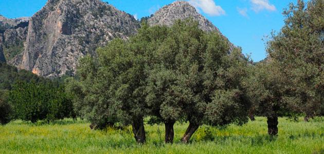 Olive Health, una nueva cátedra sobre la sanidad del olivar
