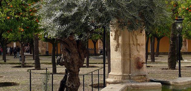 El olivo de la Mezquita